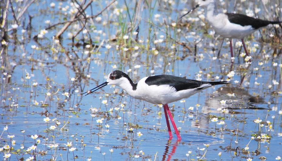 Cigüeñuela ave en Doñana