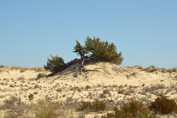 Enebro en las dunas móviles