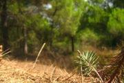 Ciclo del pino en Doñana