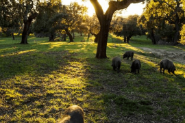 Cerdos ibéricos en las dehesas de Sierra de Aracena