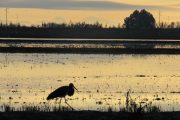 Black stork in North Doñana